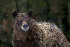 Two year old Grizzly (Daryl L. Hunter - Hole Picture Photo Safaris) Tags: usa bravo unitedstates jackson wyoming grizzlybear grandtetonnationalpark 610 grizzlycub daryllhunter grizzly610andcubs