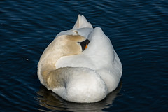 Spring Has Arrived, But Is Sleepy (Torsten Reimer) Tags: uk england lake bird london water spring swan pond unitedkingdom hydepark kensingtongardens royalparks schwan