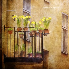 Spring on a Balcony (Milla's Place) Tags: flowers windows plants yellow spring balcony textures pots daffodils textured tatot creativephotocafe besteverexcellencegallery