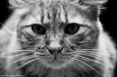 the siberian cat (Jos Eduardo Nucci) Tags: wild brazil blackandwhite cats nature animals brasil riodejaneiro photography nikon close natureza gatos animais pretoebranco maracana tijuca selvagem uerj 18200mm zonanorte nucci 2013 d7000 brasilemimagens