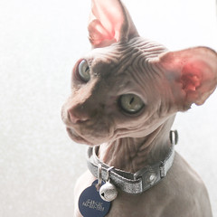 106/365 (thedianna) Tags: cat hairless jeanluc peterbald