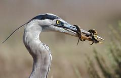Yummy stuff (bmse) Tags: blue heron canon chica great alligator lizard southern eat 7d feed f56 bolsa hunt salah 400mm bmse baazizi