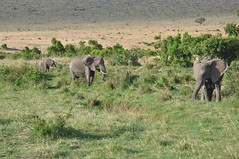 Elephant at Masai Mara (RiserDog) Tags: africa elephant kenya elephants masaimara