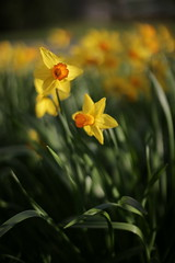 Start of the flower season (SOOC) (D_Snapper) Tags: flower green netherlands amsterdam yellow 50mm groen geel bloemen narcis bloem osdorp ef50mmf14usm sooc wonderfulworldofflowers fwo50mm14