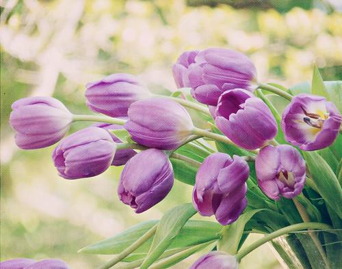 Happy Purple Tulips -- Its Spring