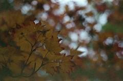 Red-tipped (dichohecho) Tags: tree film leaves yellow analog japanesemaple acer analogue pentaxmesuper fujisuperia400 westonbirtarboretum ubuphotosoc roll59 dichohecho
