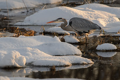 Great Blue Heron-47978.jpg (Mully410 * Images) Tags: winter snow cold bird ice heron wisconsin birding birdwatching birder greatblueheron crex crexmeadows