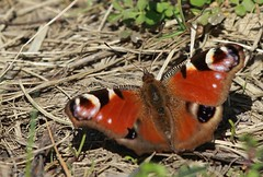 J77A5167 -- Black and brown butterfly (Nils Axel Braathen) Tags: france nature butterfly wildlife papillon sommerfugl schmetterling marlyleroi mygearandme mygearandmepremium mygearandmebronze