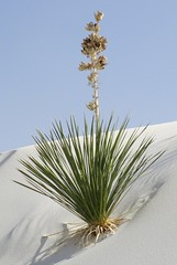 White Sands National Monument Yucca (Otero County, New Mexico) (courthouselover) Tags: newmexico nm oterocounty landscapes whitesandsnationalmonument nationalmonuments nationalparksystem northamerica unitedstates us