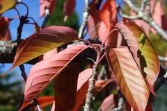 Autumn Leaves - and one little leaf bug (sandraarrell) Tags: autumn bluemountains april leura 2013 sandraarrell