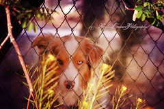 Two Tone Eyes (Krista Cordova Photography) Tags: blue dog brown white fence collie blueeyes tan browneyes collies twotone tanandwhite brownandblueeyes