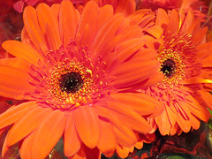 Orange Daisies (shaire productions) Tags: flowers orange plants plant flower nature floral leaves daisies photography photo leaf natural image picture pic photograph vegetation daisy imagery