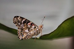 Painted Lady- On The Edge (tieulinhclc - Thanks for 2 million + views) Tags: park nature canon butterfly garden butterflies il explore rockford buckeye simplybeautiful naturebeauty sinissippi specanimal t2i nicholasconservatory dlphotography dandlphotography vnbflyturkey
