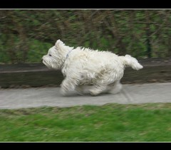 "4/12B ~ ""What am I missing?"" (ellenc995) Tags: riley awesome westie running westhighlandwhiteterrier coth supershot rubyphotographer 100commentgroup naturallywonderful ruby5 thesunshinegroup sunrays5 12monthsfordogs13"