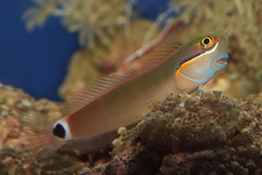 Tail spot blenny (Ecsenius stigmatura) (shadowshador) Tags: ocean life sea fish water wildlife tail spot tropical ichthyology reef biology animalia reefs scientific taxonomy blenny classification chordata bilateria deuterostomia craniata vertebrata gnathostomata osteichthyes actinopterygii neopterygii teleostei eukaryota perciformes eumetazoa ecsenius stigmatura blenniidae acanthopterygii blennioidei opisthokonta neomura holozoa filozoa