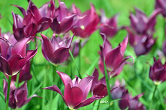 Garnet tulips (bbic) Tags: flowers spring tulips april garnet mov primavara bucharestbotanicalgarden lalea outstandingromanianphotographers