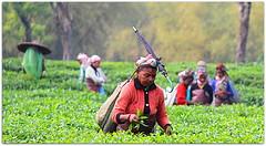 This is Assam ! (Monsoon Lover) Tags: life india love rain forest flickr tea migration assam teagarden teaplucking sudipguharay baganiya teaeconomy