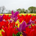 Burnside Tulip Farm 2013-7002.jpg