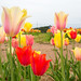 Burnside Tulip Farm 2013-7008.jpg