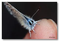 Y se subi a mi dedo ....... (PITUSA 2) Tags: espaa canon lepidoptera galicia mariposa pitusa animalia arthropoda bolboreta insecta lycaenidae pseudophilotespanoptes pseudophilotes panoptes elsabusto serradaenciadalastraourense