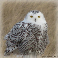 A beautiful Snowy Owl Just sitting on a fence post admiring the miles of flat prairie in southern Alberta near Oyen. (jossytoots) Tags: female snowy owl