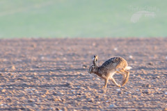 Running hare (Penelope Malby Photography) Tags: dawn spring hare norfolk springwatch brownhare