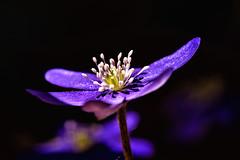 Anemone hepatica (blichb) Tags: flower macro germany bayern deutschland bavaria anemone blume makro inning 2013 leberblmchen anemonehepatica canon6d blichb canonmacroef100mm128lisusm
