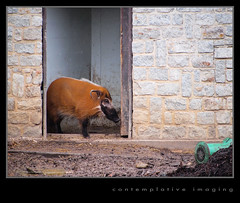red river hog (contemplative imaging) Tags: africa usa fish animal animals digital america easter photography zoo aquarium march pig photo midwest warm day tn image cloudy photos african memphis tennessee sunday overcast images rainy american imaging jpeg hog boar lr 43 3x4 mamal midwestern redriverhog mamals shelbycounty 2013 lr4 olyep2 contemplativeimaging ronzack lumg45200 20130331