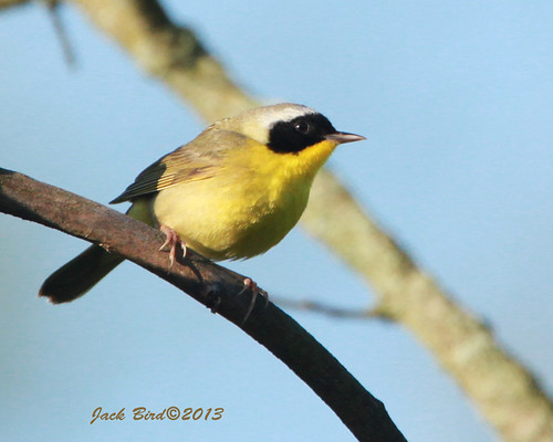 Common Yellowthroat By Jack Bird