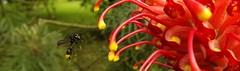 Estou chegando/I'm coming (Ricardo Venerando) Tags: life flowers red flores flower macro green nature brasil garden insect wildlife natureza bugs explore fujifilm discovery naturesfinest conservacion nationalgeografic platinumphoto diamondclassphotographer ysplix macrolife goldstaraward fotocultura ricardovenerando