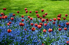 Red Blue & Green (John A King) Tags: gardens with tulips victoria explore whitehall embankment forgetmenots