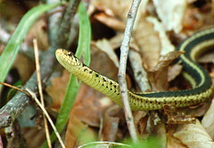 Enjoying the weather (A. Drauglis) Tags: virginia reptile snake northern seneca gartersnake dranesville thamnophissirtalis nvrpa