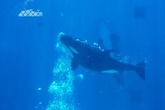 (romeyrider) Tags: world sea san diego killer whale captive shamu orcas