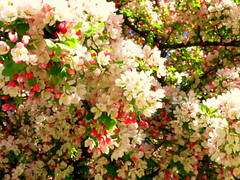 Spring Blossoms (Renee Rendler-Kaplan) Tags: pink flowers sun white tree green sunshine canon garden backyard colorful gbrearview blossoms may sunny lookup bloom suburb temporary fleeting abundance crunchy gapersblock wbez blooming skokie chicagoist plentiful 2013 skokieillinois reneerendlerkaplan canonpowershotsx40hs ourspringtimegarden