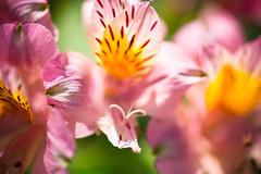 Open Arms (moaan) Tags: life light sunlight flower color june zeiss t flora dof bokeh joy 100mm stamen utata flowering f2 bliss alstroemeria ze makroplanar 2013 inlife canoneos5dmarkiii zeissmakroplanart2100ze carlzeissmakroplanart100mmf2ze