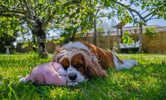 Too Hot For Some (intrazome) Tags: light dog pet pets sun nature beautiful animal animals garden nikon focus dof bokeh lazy sigma1770 d5100