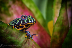 Orange Nail Polish ~ EXPLORE (d_russell) Tags: frog flickrsbest citrit canon7d naturethroughthelens ef100mmf28frogmacrotropical