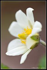 Fjällsippa (mmoborg) Tags: flowers sweden sverige blommor mmoborg mariamoborg