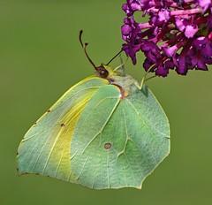Brimstone (keith27a) Tags: france macro nature fauna butterfly nikon brimstone d7100 naturesubjects