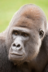 2014-09-19-10h32m34.272P3435 (A.J. Haverkamp) Tags: germany zoo gorilla hannover dierentuin westelijkelaaglandgorilla batouri buzandi dob30121991 httpwwwzoohannoverde pobmelbourneaustralia canonef500mmf4lisiiusmlens