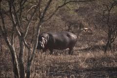 MAK_24 (AleK in wonderland) Tags: tanzania africa wildlife hipopotamo serengeti animal airelibre naturaleza nature voyeur vigilante