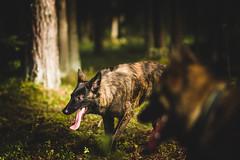IMG_4563 (jabberjinx) Tags: dog dogs canon shepherd canine hh brindle dutchshepherd dogphotos hollandse dutchie paimenkoira hollandseherder canoneos7d canon7d hollanninpaimenkoira holsku