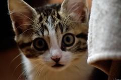 Marlifa (Mystycat =^..^=) Tags: animal cat kitten feline chat kitty gato katze gatto flin