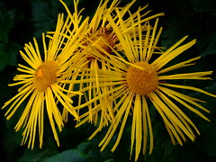 Inula (yewchan) Tags: flower flowers garden gardening blooms blossoms nature beauty beautiful colours colors flora vibrant lovely closeup inula