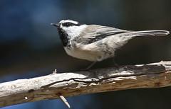 Mountain Chickadee (Poecile carolinensis); Santa Fe National Forest, NM, Thompson Ridge [Lou Feltz] (deserttoad) Tags: bird wildbird wildlife nature songbird chickadee behavior newmexico nationalforest