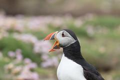 _MG_6912.jpg (helmutfaugel) Tags: schottland fairisle grosbritannien europa vogel 2016 shetland papageientaucher orte