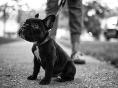 P8300101 (George Stastny. Photographer.) Tags: street photography animals dogs french bulldog black white