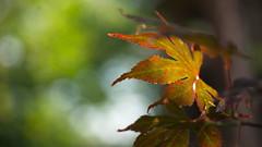 Colours of a Japanese maple (Acer palmatum) (Stefan Zwi.) Tags: acerpalmatum japanesemaple fcherahorn dof bokeh sony a7 sigma 105mm macro