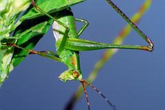 Bush Katydid Nymph (Larah McElroy) Tags: photograph photography picture pictures larah mcelroy larahmcelroy bug bugs insect insects macro katydid bush bushkatydid bushkatydidnymph nymph