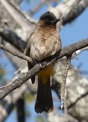 Dark-capped Bulbul (tapaculo99) Tags: birds aves africa southafrica krugernationalpark bulbul darkcappedbulbul commonbulbul pycnonotusbarbatus
